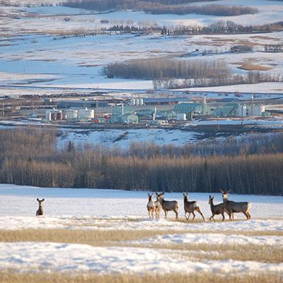 Deer overlooking industrial development in Blueberry River FN territory